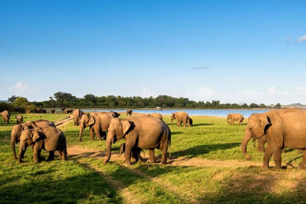 nws-sri-lanka-elephant-gathering-minneriya